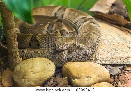 Brazilian Lancehead Snake (bothrops Moojeni) On The Ground