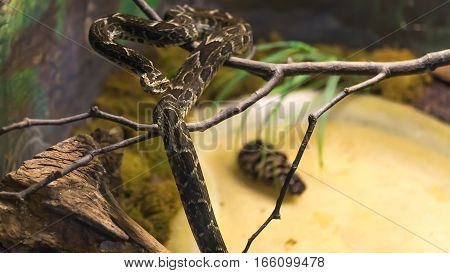 Fonseca's Lancehead Snake (bothrops Fonsecai) Slithering On  Branch