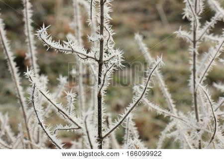 Frost on small branches on a midwinter morning