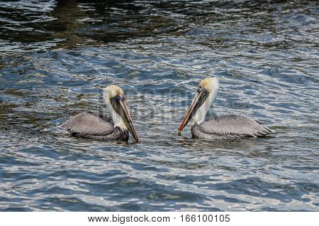 TWO BROWN PELICANS SWIMMING FACING EACH OTHER