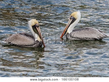 A CLOSE UP OF TWO BROWN PELICANS SWIMMING TOGETHER