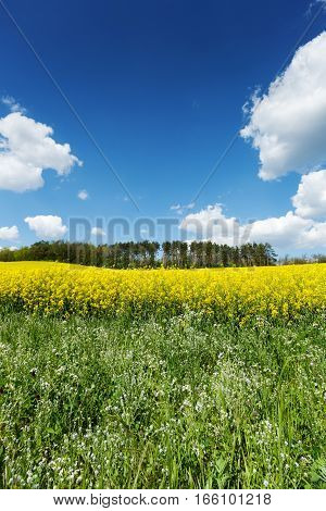 Yellow flowering rapeseed field in the springtime with blue sky and cumulus clouds