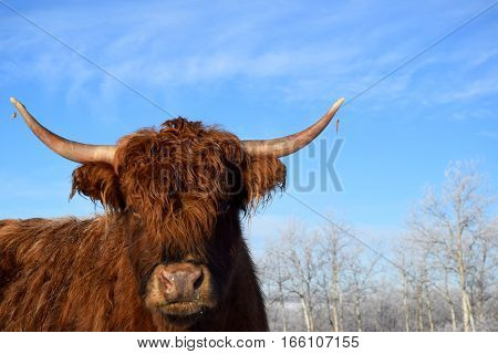 a photo of a longhorn cow with a blue sky