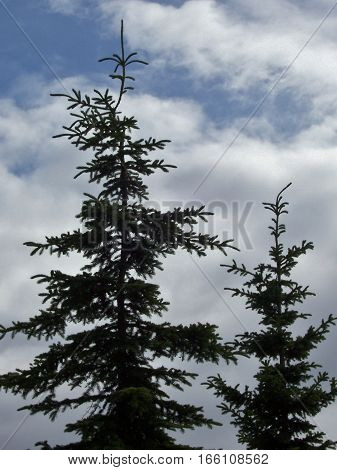 looking up at pine trees silhouetted against a bright blue alaskan sky with clouds.