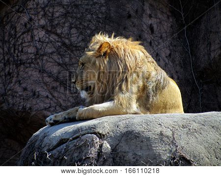 African Male Lion Seated on a Rock