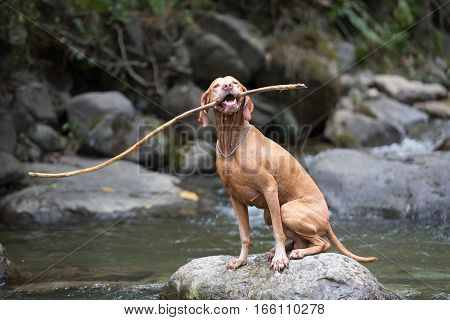 vizsla dog holding a wooden stick in mouth sitting on a rock by the river