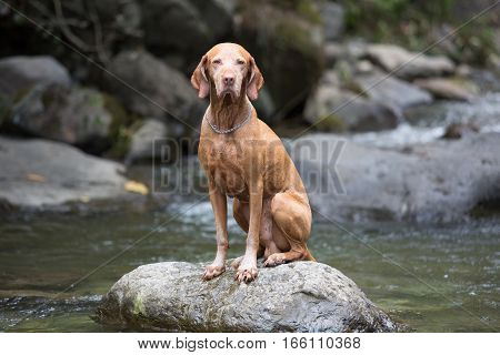 sitting male vizsla dog on a rock in the river in the Colombian jungle
