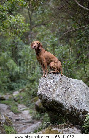 vizsla dog sitting on a boulder in Colombia