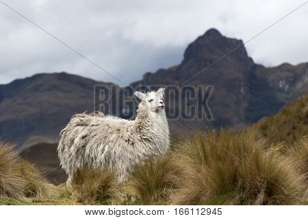 alpaca in Ecuador in Cajas national park