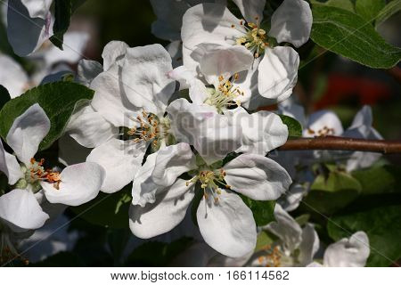 White large flowers decorate branches of an apple tree in the spring.
