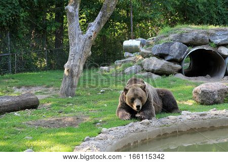 The brown bear near the tree  and stones