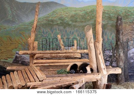 The small panda sleeping on wood platform
