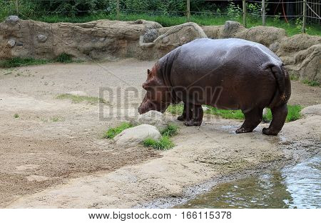 Hippo walking out from water to the beach