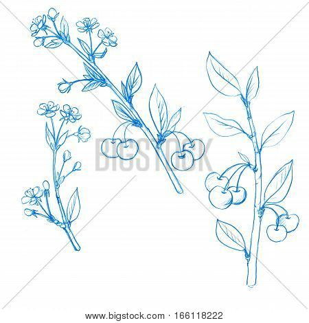 set of cherry tree branches with berries, leaves, buds and flowers drawing by blue pencil, isolated hand drawn elements