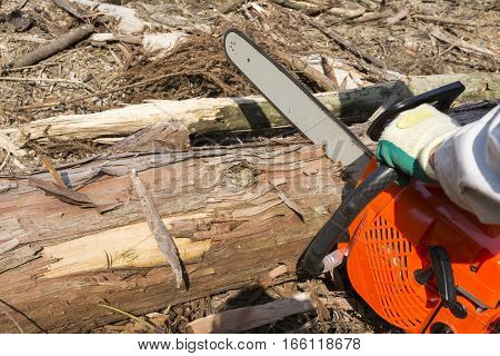 Chainsaw cutting a cedar log at logging area