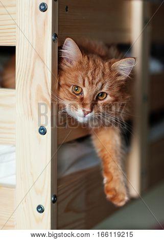 cat lies foreleg dangling off the bed