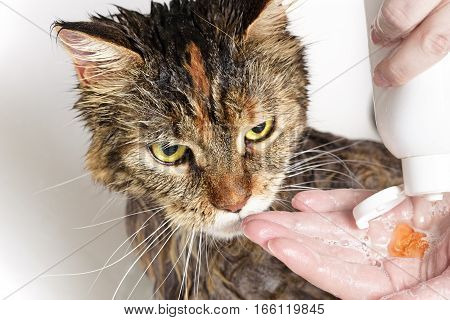 Wet cat in the bath. Girl washes cat