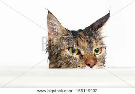 Funny cat Maine Coon. Wet cat on white background.