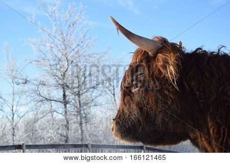 a photo of a long horn cow with frosty trees and a blue sky in the background