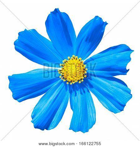 Blue Primula Flower Macro Isolated On White