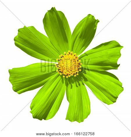 Lime Primula Flower Macro Isolated On White
