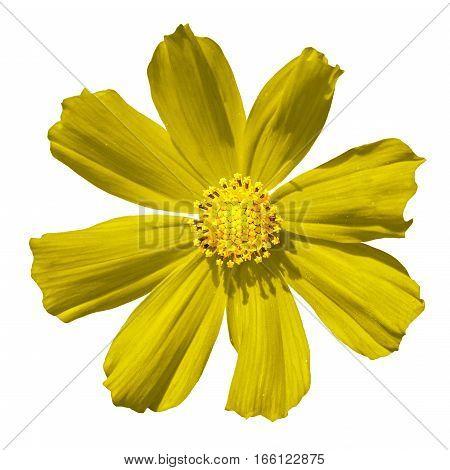 Yellow Primula Flower Macro Isolated On White