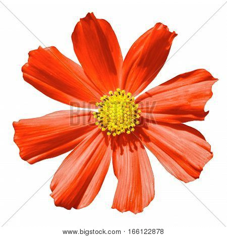 Red Primula Flower Macro Isolated On White