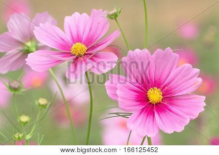 Beautifu Pink Cosmos flower on nature background