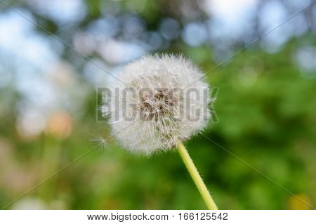 one white fluffy dandelion on a green background