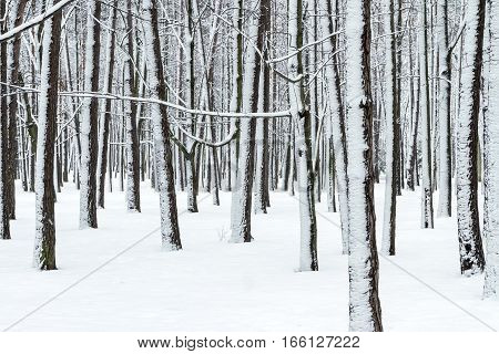 Winter Forest With Bare Tree Trunks And Branches Covered By Snow