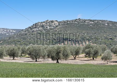 Olive grove at the foot of the mountain. Photo taken in Ciudad Real, Spain