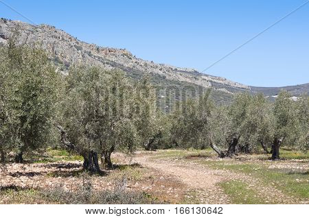 Olive grove at the foot of the mountain. Photo taken in Ciudad Real Province Spain