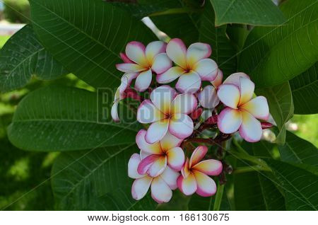 Plumeria Flower Pink And White Frangipani Tropical Flower