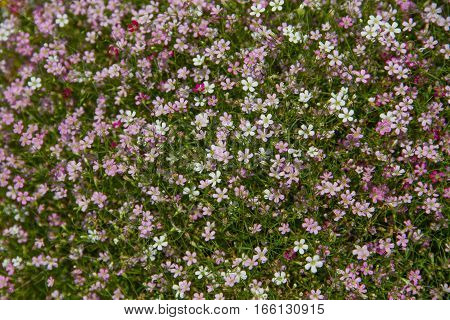 gypsophila flower as background blurred selective focus