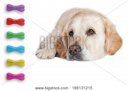 Closeup view of the Golden Retriever Dog lying on the white background. Colorful dog bones are in the left side of the photo.