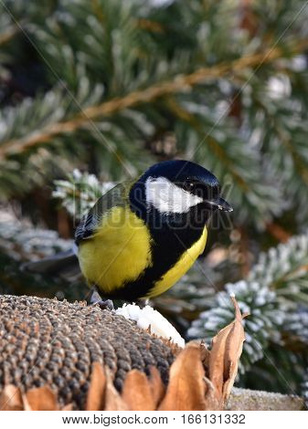 great tit songbird in winter time during birdwatching