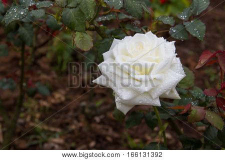 White Rose flower in the garden with water droplets on the petals