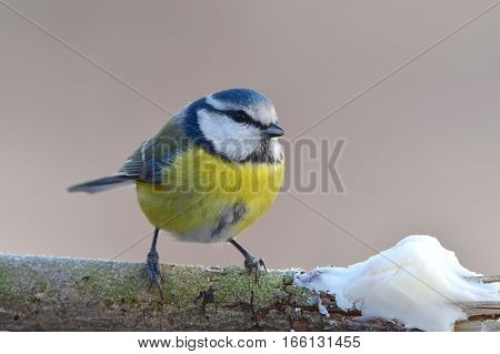 blue tit with portion of suet during winter time