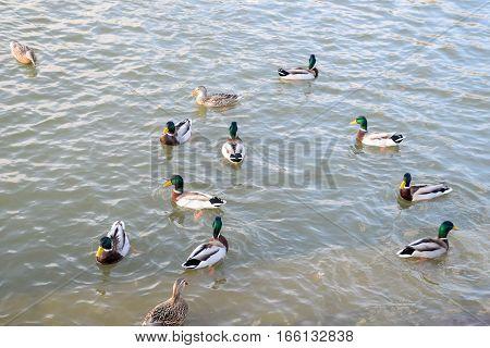 Ducks Swimming In The Pond. Wild Mallard Duck. Drakes And Female
