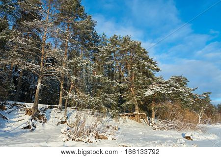 Pine woods near Vselug lake in winter. Penovskiy district Tver oblast Russia.
