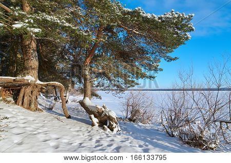 Large roots of pine trees near Vselug lake in winter. Penovskiy district Tver oblast Russia.