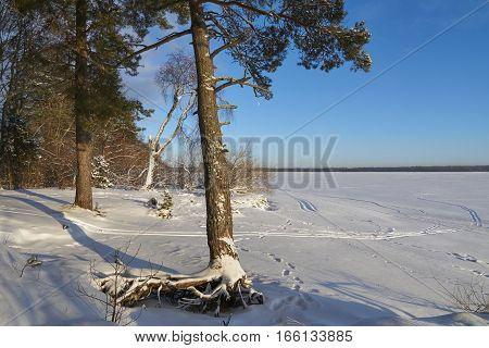 Large roots of pine tree near Vselug lake in winter. Penovskiy district Tver oblast Russia.