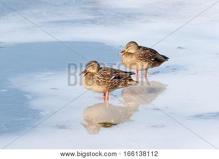 Wild Duck Birds Mallard Duck (Anas platyrhynchos). Two females