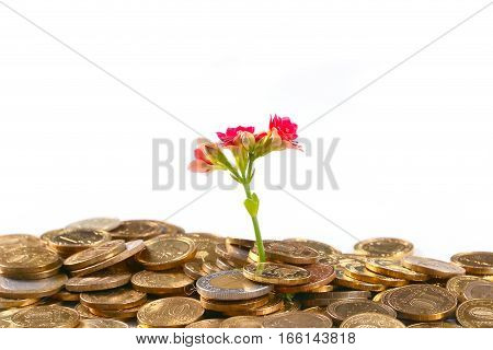 lovely pink decorative flower kalanchoe and a bunch of gold coins Russian money