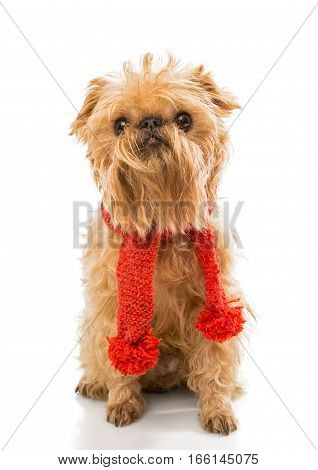 Dog breed Brussels Griffon in a knitted scarf isolated on white