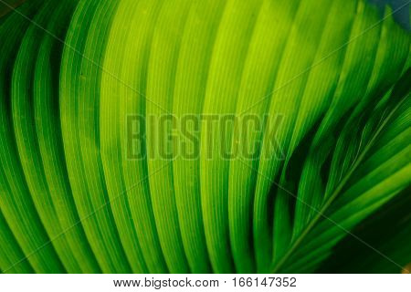 Giant green leaf with sunlight shining through