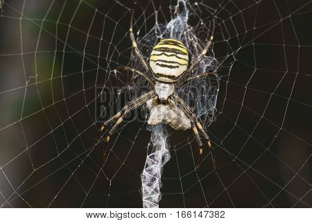 Argiope Bruennichi or spider-wasp - view araneomorph spiders of the family of Orb-web spiders (lat. Araneidae) - prey