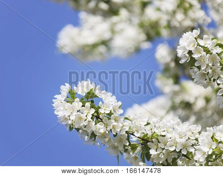blooming pear tree nature background. White flowers