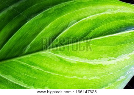 Closeup details of natural green leaf pattern and texture