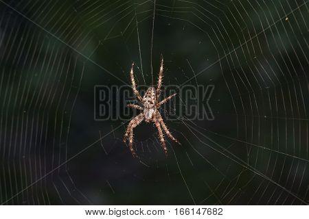 Spider garden-spider (lat. Araneus) kind araneomorph spiders of the family of Orb-web spiders (Araneidae) on web